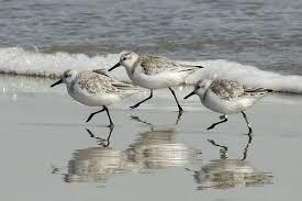 sanderling 2